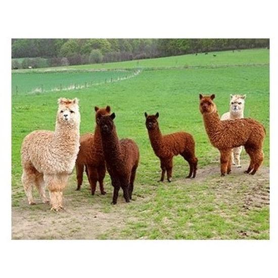 3D magneetje met alpacas