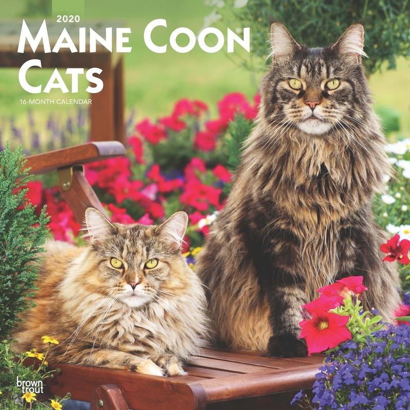 Maine Coon katjes/poesjes 2020 dieren wandkalender