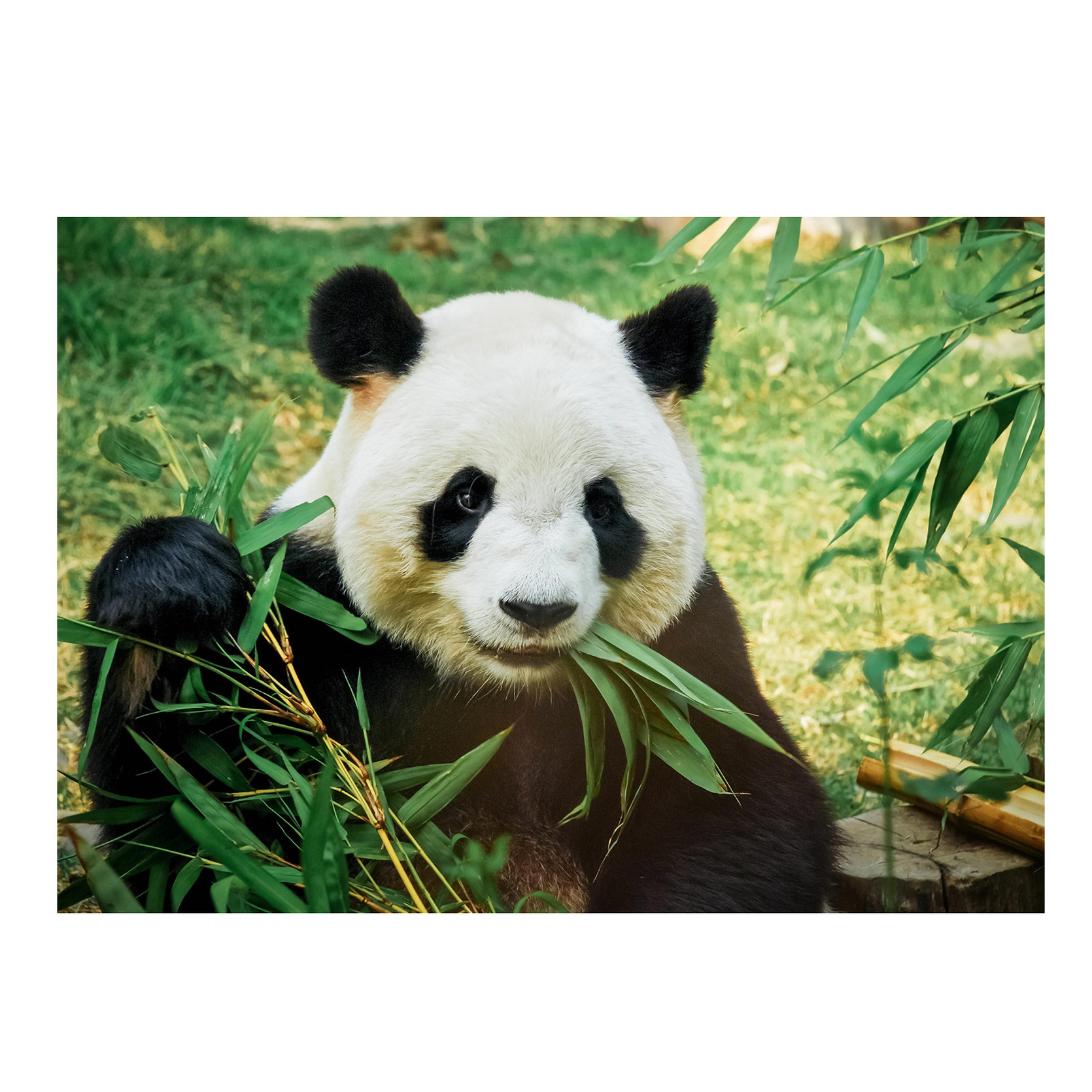 Dieren kinderkamer poster panda / reuzenpanda 84 x 59 cm