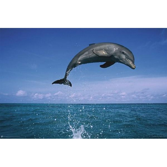 Poster dolfijnen 61 x 91,5 cm
